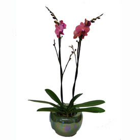gallery/_12__phalaenopsis_incl_pot_22_50