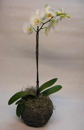gallery/_10__phalaenopsis_incl_pot__00